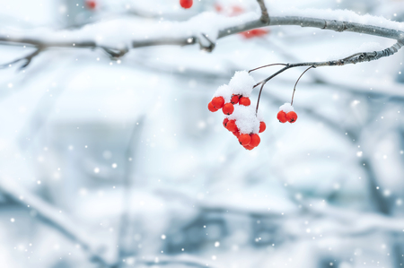 rowan tree: Background with a mountain ash cluster in snow Stock Photo
