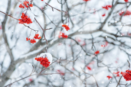 snow tree: Snow-covered tree with red clusters of  mountain ash