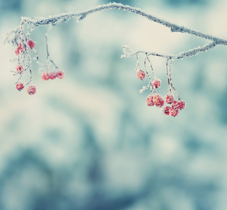 mountain ash: Winter background with branch of the red mountain ash covered with hoarfrost