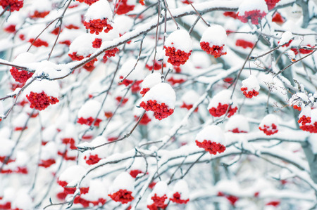 clusters: Tree with clusters of red mountain ash covered with snow