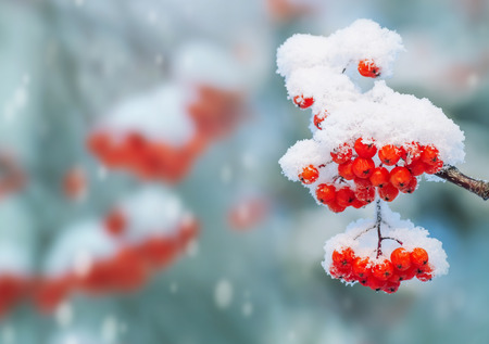 red mountain: Background with bright red berries of mountain ash under snow Stock Photo