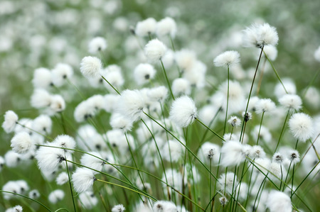 flowering plants: Flowering plants of cotton grass in  swamp Stock Photo