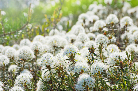 palustre: Blooming Ledum in the Siberian tundra in spring Stock Photo