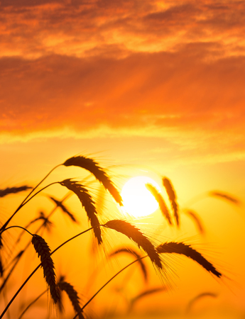 Ripe ears of wheat against the backdrop of the sunset sky