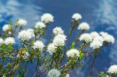 palustre: Flowering ledum on the lake over water Stock Photo