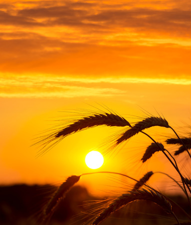 field sunset: Ripe ears of wheat against the backdrop of the sunset sky