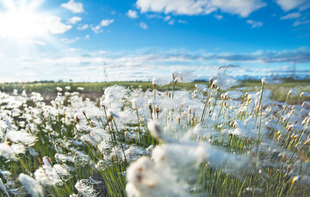 The plant cotton grass in the Siberian tundra at sunset sky background