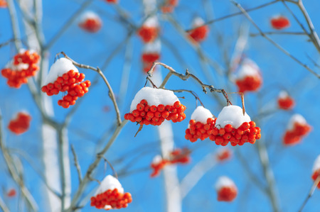 red mountain: The clusters of red mountain ash covered with snow Stock Photo