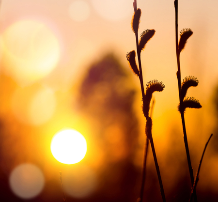 Twigs: Twigs of willow with catkins on background of the sunset sky Stock Photo