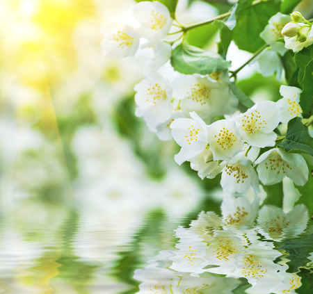 tree jasmine: Spring background with flowering jasmine reflected in water