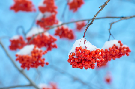 clusters: The clusters of red mountain ash covered with snow Stock Photo