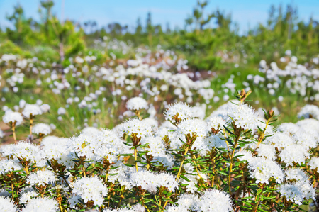 palustre: Spring landscape with the blossoming Labrador tea in the forest-tundra