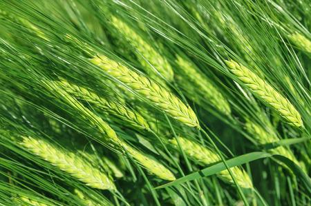 cebada: El fondo de las grandes orejas verdes de cebada