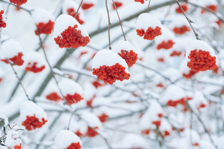 clusters: Clusters of the bright ripened mountain ash under snow