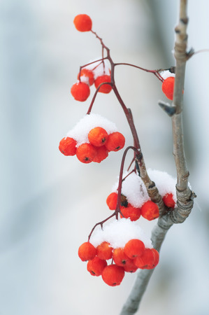 red mountain: Berries red mountain ash covered with snow