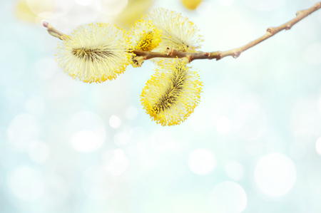 catkins: Spring background with pussy-willow branch with catkins