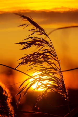 sunset sky: The plant reed close-up on  background of sunset sky Stock Photo
