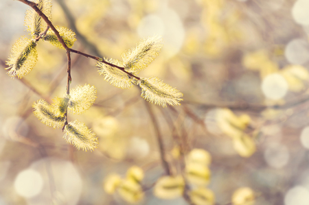 catkins: Spring gentle background with  blossoming willow catkins
