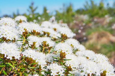 forest tea: Spring landscape with the blossoming Labrador tea in the forest Stock Photo