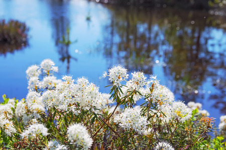 palustre: Blooming Rhododendron in the swamp in Western Siberia
