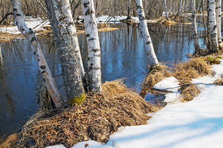 thawed: Spring landscape with birch trees and thawed on the river bank