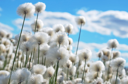 Fioritura erba di cotone su sfondo di cielo blu Archivio Fotografico