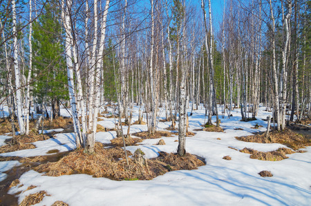 thawed: Spring landscape in the birch wood. After thawing of snow the first thawed patches have opened.