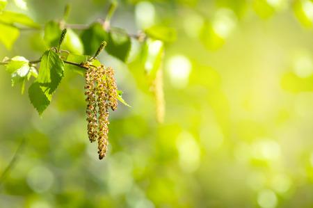 Achtergrond van de lente met tak van berk met katjes in het zonnetje Stockfoto