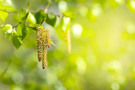 with pollen: Spring background with branch of birch with catkins in sunshine