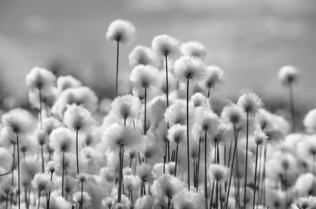 landscape flowers: Spring landscape with blooming cotton grass in black and white Stock Photo