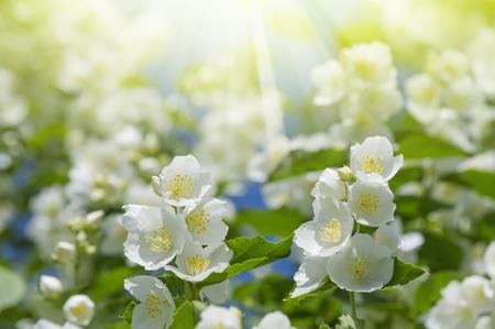 Summer background with blooming jasmine in the sunshine Foto de archivo