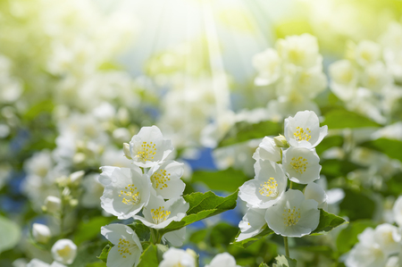 Summer background with blooming jasmine in the sunshine Stock Photo