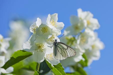 brassicae: Butterfly sitting on  flowering jasmine against the blue sky Stock Photo