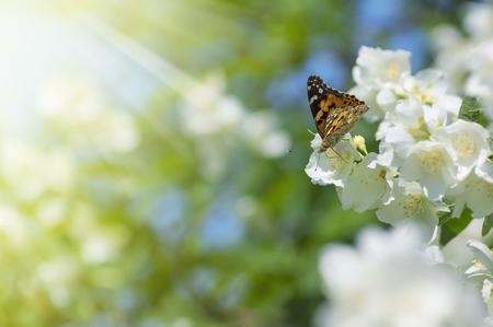 夏の背景に咲くジャスミンと蝶