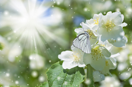 brassicae: Spring background with  butterfly on jasmine in the sunshine