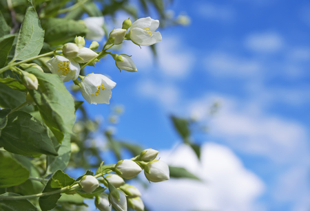 tree jasmine: Spring background with flowering jasmine on the sky background with clouds