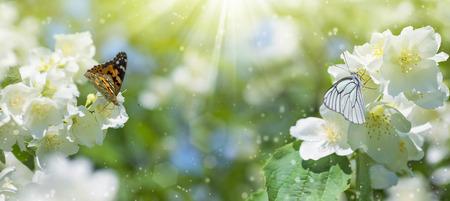 Sfondo primavera con la fioritura di gelsomino e due farfalle sui fiori Archivio Fotografico - 61393731
