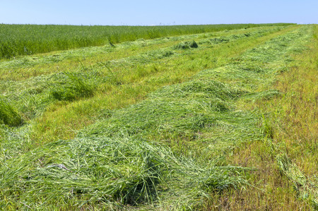 husbandry: The field of cut grass. Harvesting forage crops for the season animal husbandry.