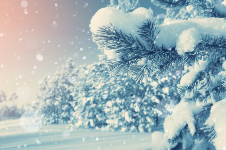 snow forest: Bright winter landscape with snow-covered pine trees