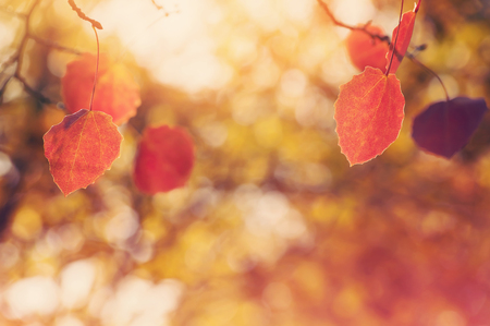 autumn color: Autumn background with red leaves of aspen. Vintage color. Stock Photo