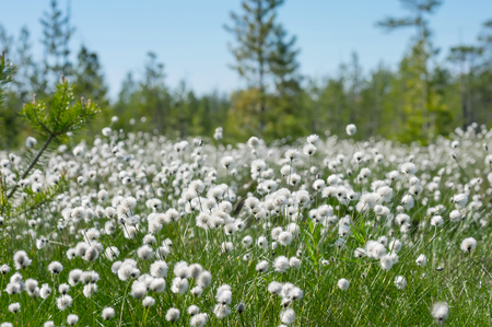 Spring  bright landscape with blooming cotton grass Stock Photo
