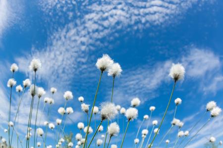 himmel hintergrund: Blühende Baumwolle Gras auf dem Hintergrund des blauen Himmels