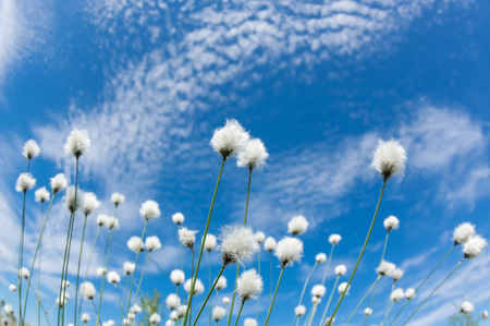 Flowering cotton grass on a background of blue sky Stock Photo