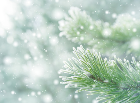 frost winter: Winter natural background with pine branches in the frost