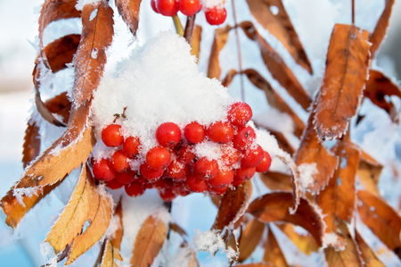 red mountain: Covered with snow bunches of red mountain ash with yellow leaves Stock Photo