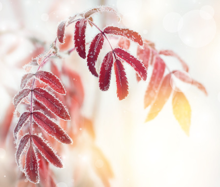 Autumn background with red leaves of mountain ash covered with hoarfrost Stock Photo
