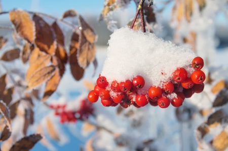 water fall: Snow-covered red bunches of rowan in the snow close-up