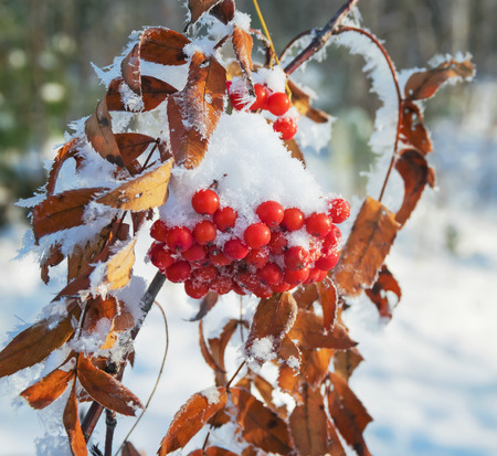 red mountain: Bunches of red mountain ash covered with snow