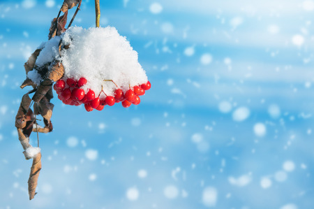 Winter nature background with frozen bunch of red rowan