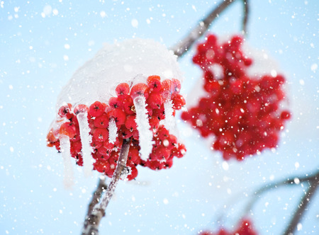 sopel lodu: Red frozen rowan berries with icicles against the sky
